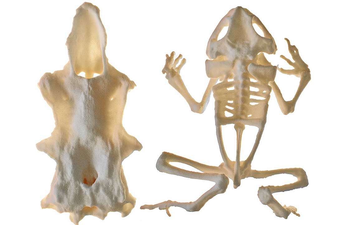3d Printed Frog Skeletons For Classrooms