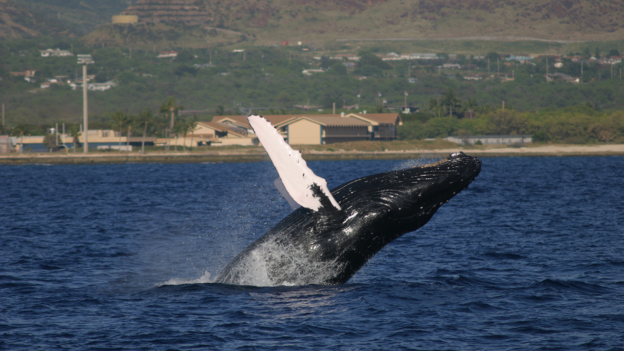 Whale vocalization - Wikipedia