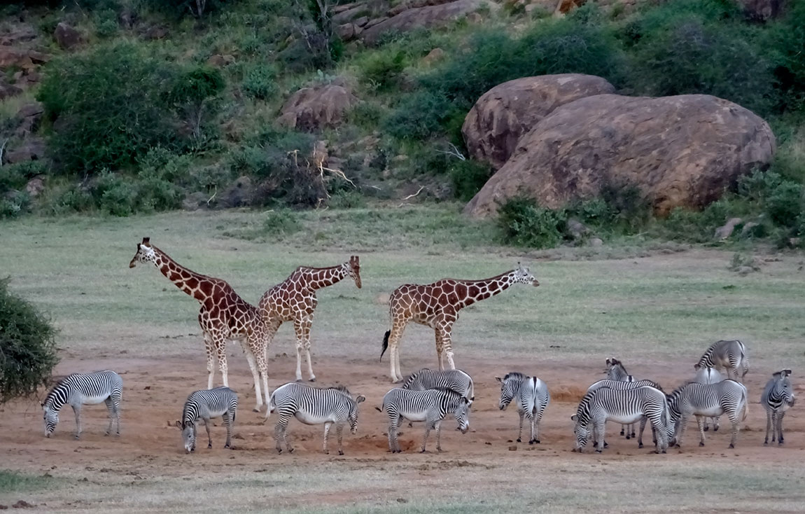 people together as scientists to save a zebra species