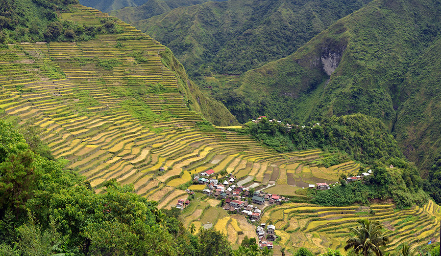 Genetically modified Golden Rice falls short on lifesaving ...