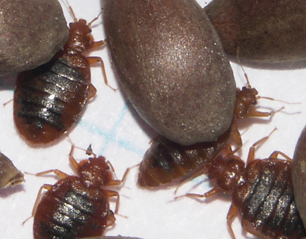 Researchers Sequence First Bedbug Genome-5175