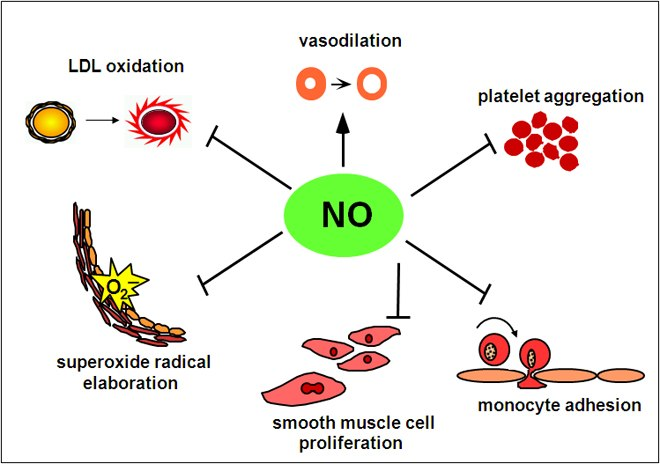 Sources Of Nitric Oxide In The Body
