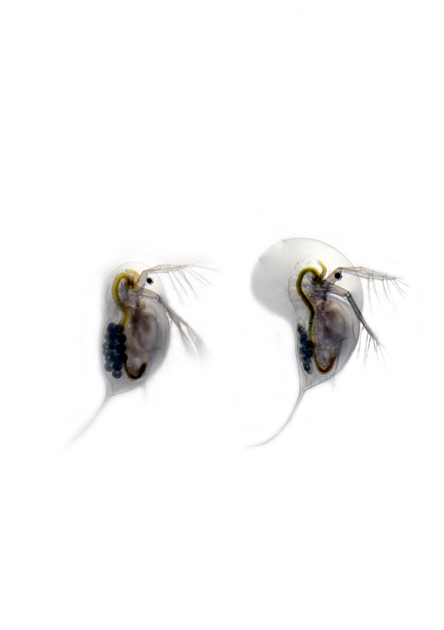 Transforming Water Fleas Prepare For Battle