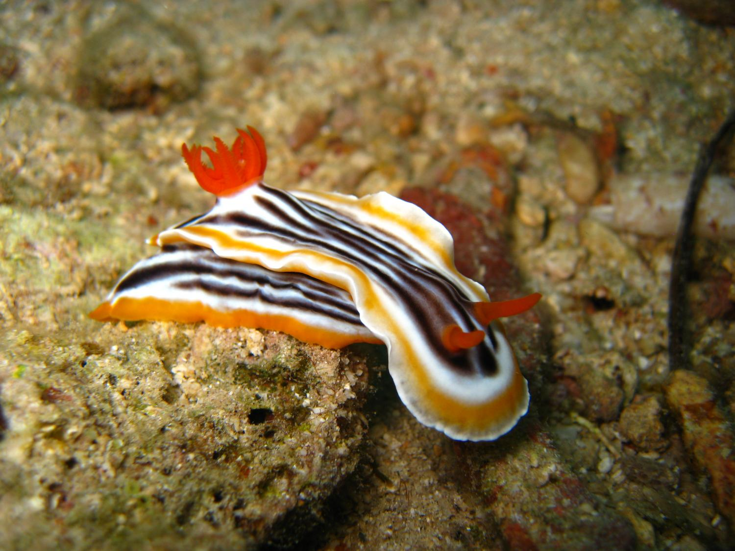 new species of sea slug discovered to have plant like characteristics Identification of sequestered chloroplasts in photosynthetic and  several species have a broad food spectrum, like  two new sacoglossan sea slug species.
