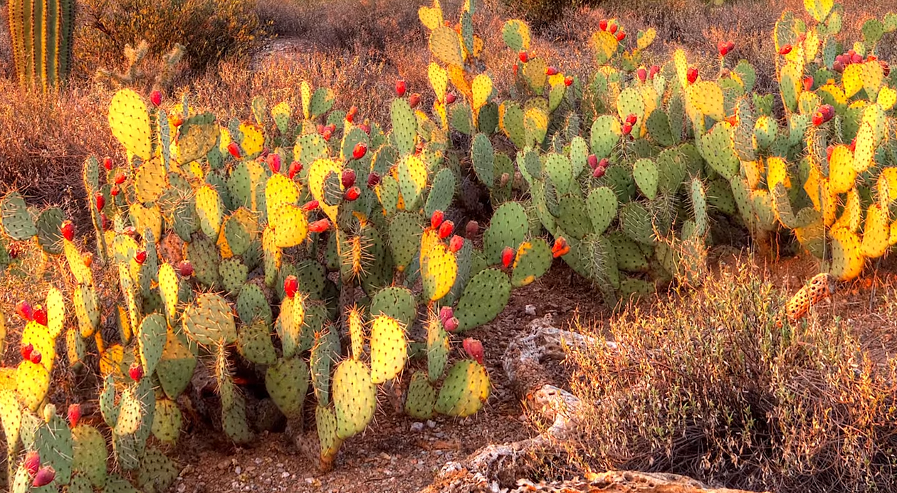 desert cactus purifies contaminated water for aquaculture
