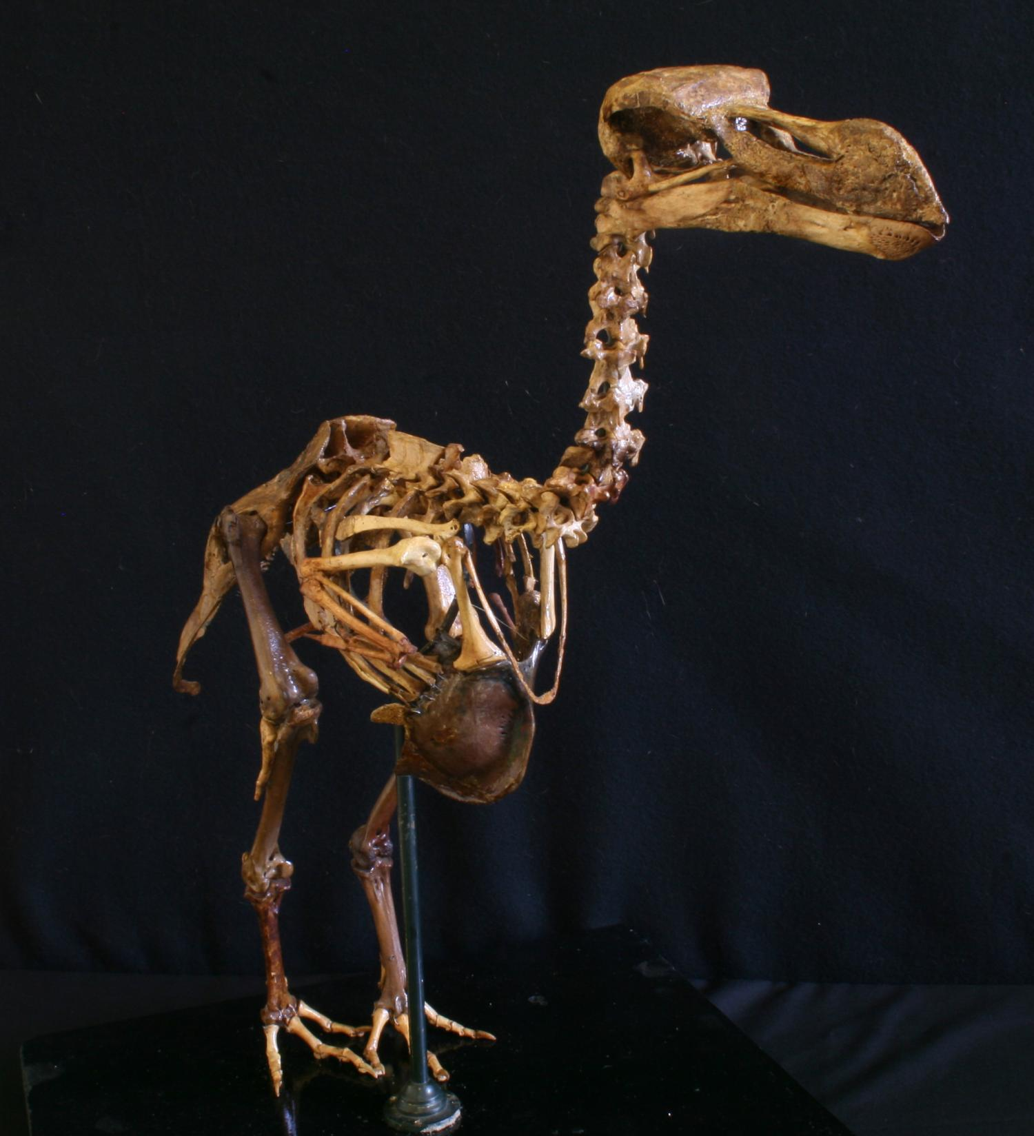 the biological description of the dodo and its extinction There's just one small problem with this shopworn extinction tale: it's  the  scarcity of physical evidence, combined with unreliable descriptions.