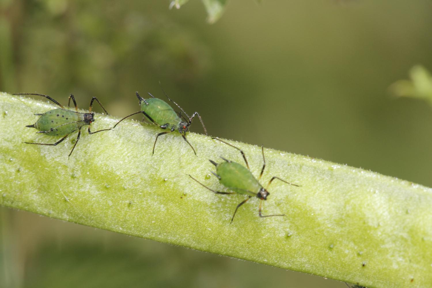 Discussion on this topic: How to Use Plants to Discourage Aphids, how-to-use-plants-to-discourage-aphids/