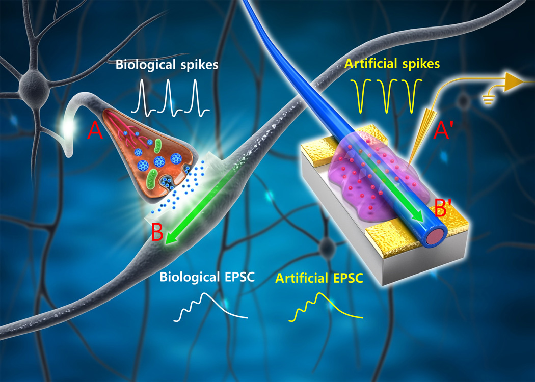 Researchers create organic nanowire synaptic transistors that researchers create organic nanowire synaptic transistors that emulate the working principles of biological synapses ccuart Image collections