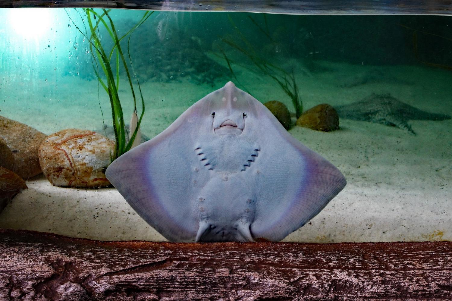 Stingrays found to chew their food before swallowing for Stingray fish tank