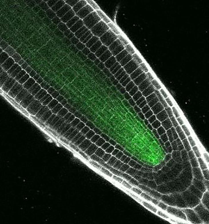 Transforming plant cells from generalists to specialists