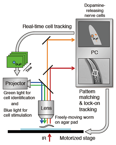 Activity of nerve cell in freely moving animal analyzed by new robot activity of nerve cell in freely moving animal analyzed by new robot microscope system ccuart Gallery