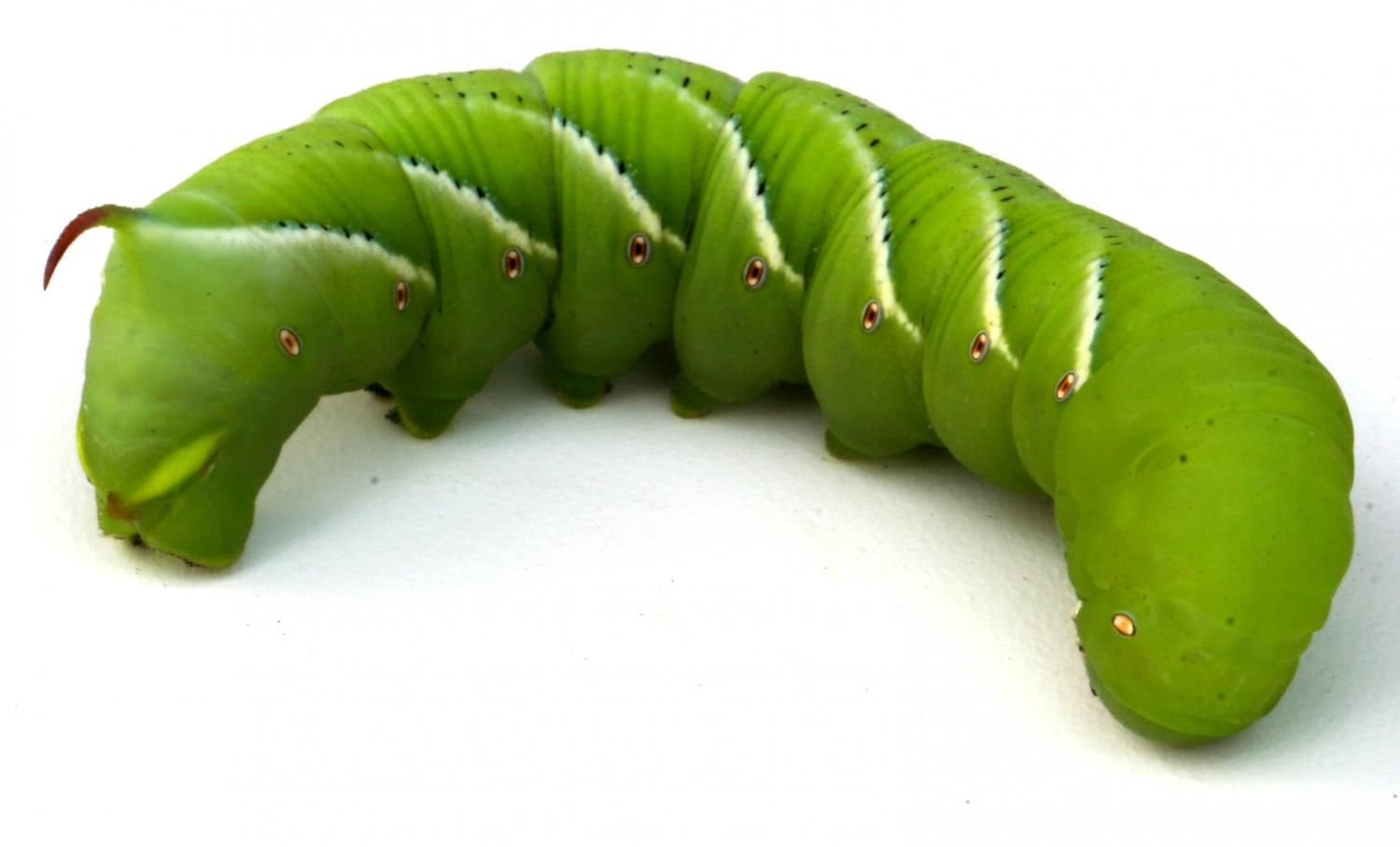 researchers sequence genome of gluttonous tobacco hornworm