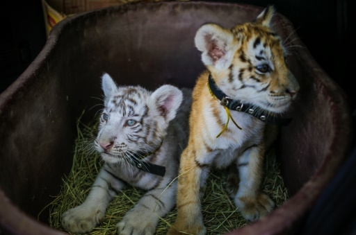 Rare Bengal tiger cubs born to travelling circus in Nicaragua