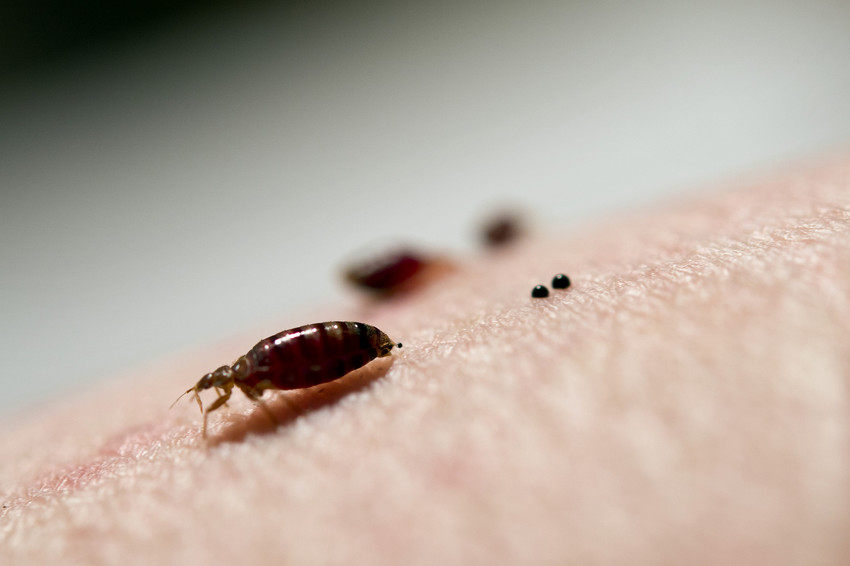 Bedbugs Develop Resistance To Widely Used Chemical Treatments