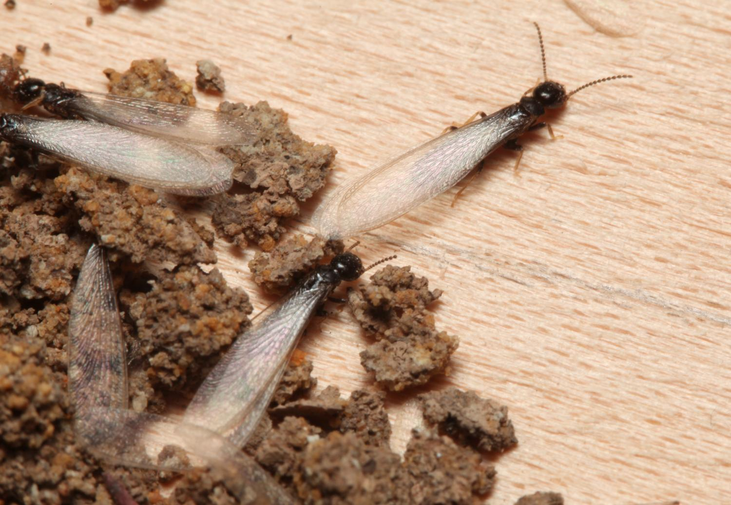 Beware Of Insect Pests That Can Reduce Your Homeu0027s Value, Says Bug Man.  Subterranean Termite Swarmers ...