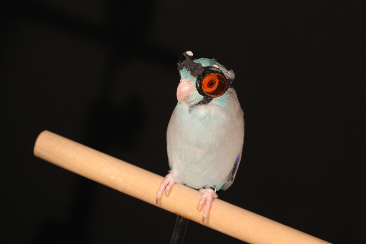 Birds flying through laser light reveal faults in flight research