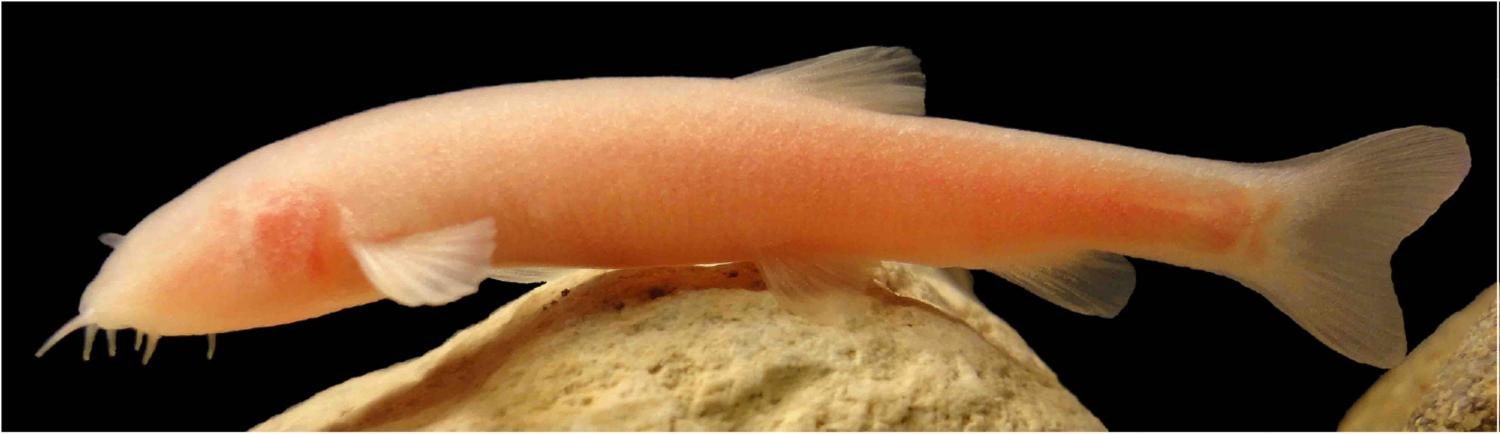 Species of fish discovered by chance in kurdistan blind species of fish discovered by chance in kurdistan sciox Images