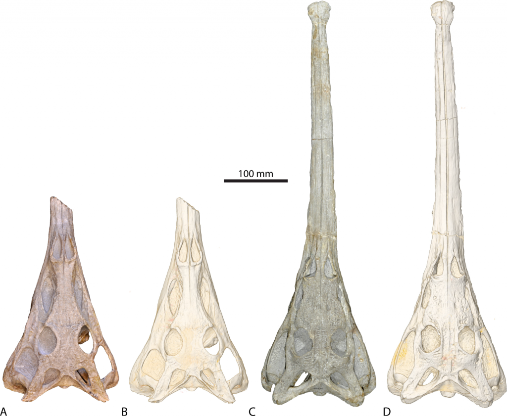 Brain anatomy convergence between crocodylians and their epic ...