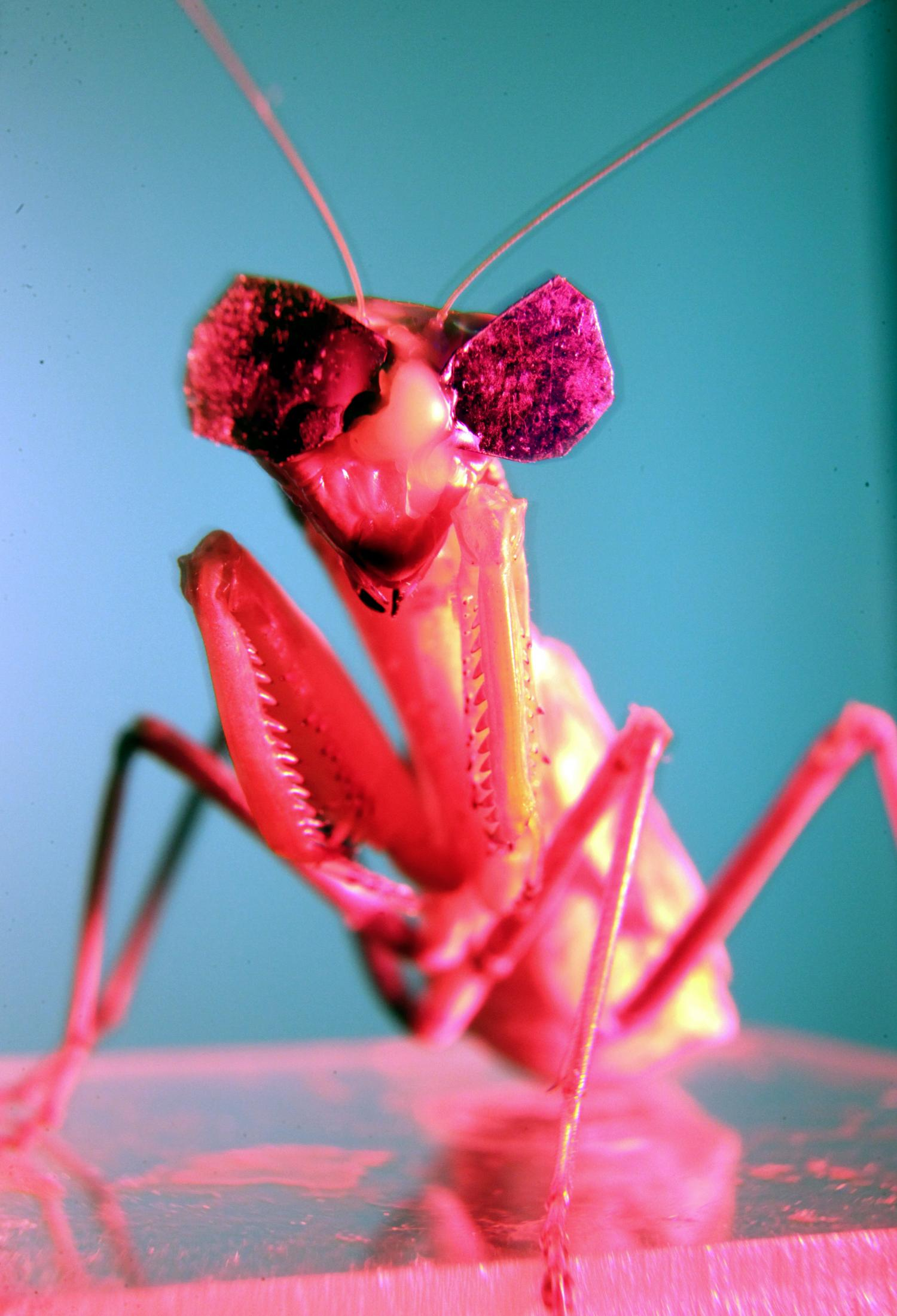 Bug Eyes Tiny 3 D Glasses Confirm Insect 3 D Vision