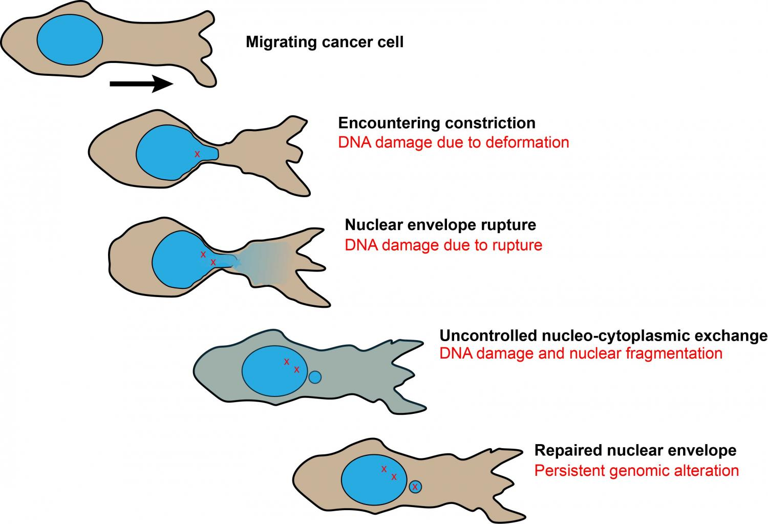 Cancer Cells Show Resilient Nuclear Rupture Repair But Expose Envelope Schematic A Overview Of During Migration Through Tight Spacesand The Consequences On Genomic Integrity