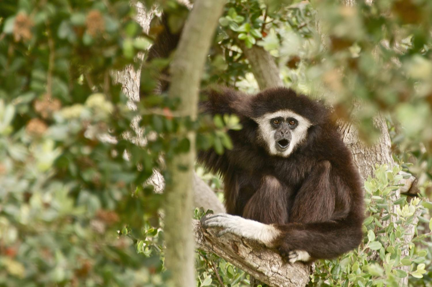 complete genome of all strains of the gibbon ape leukemia viruscomplete genome of all strains of the gibbon ape leukemia virus sequenced