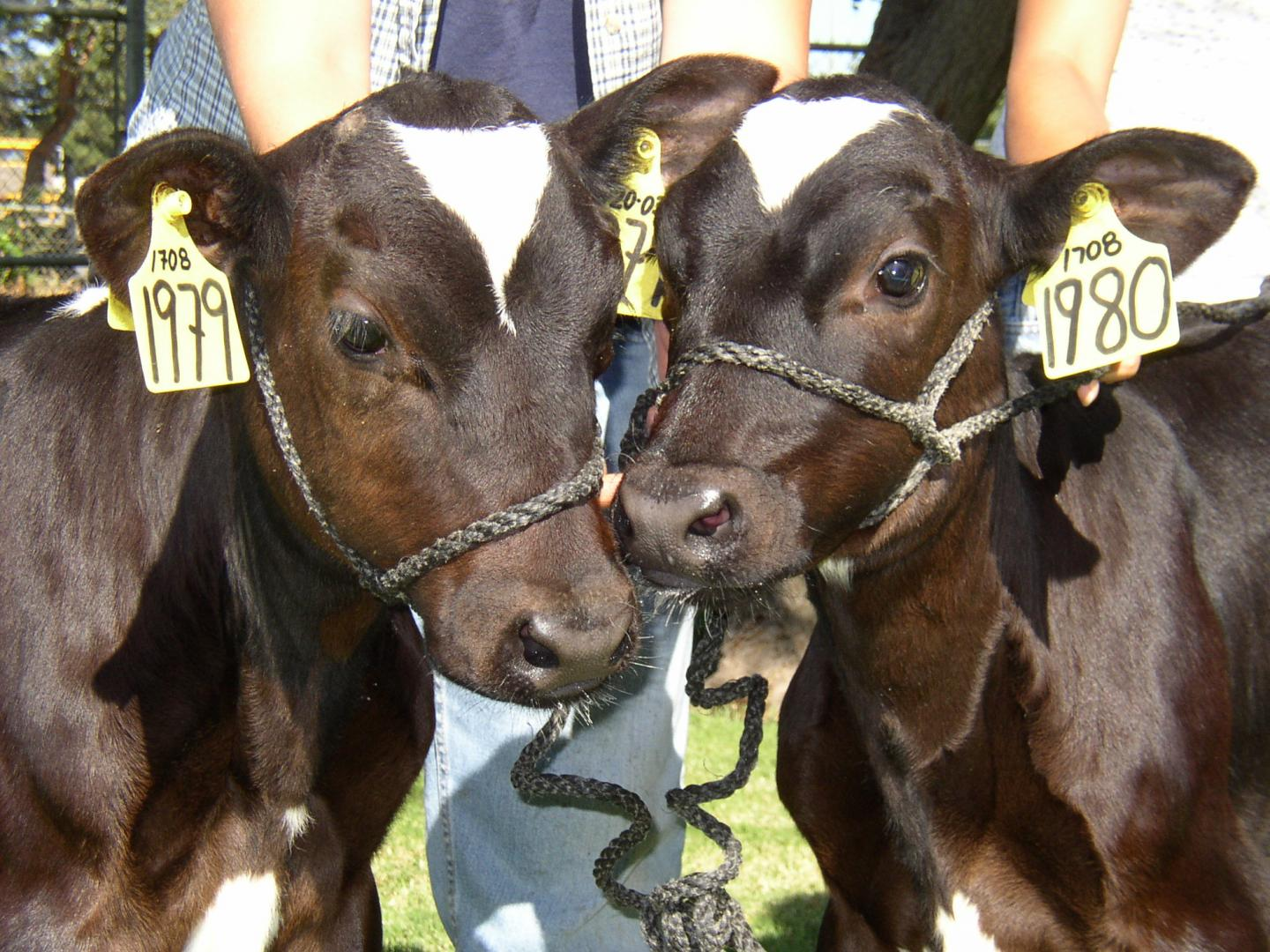 Image result for cloned cows