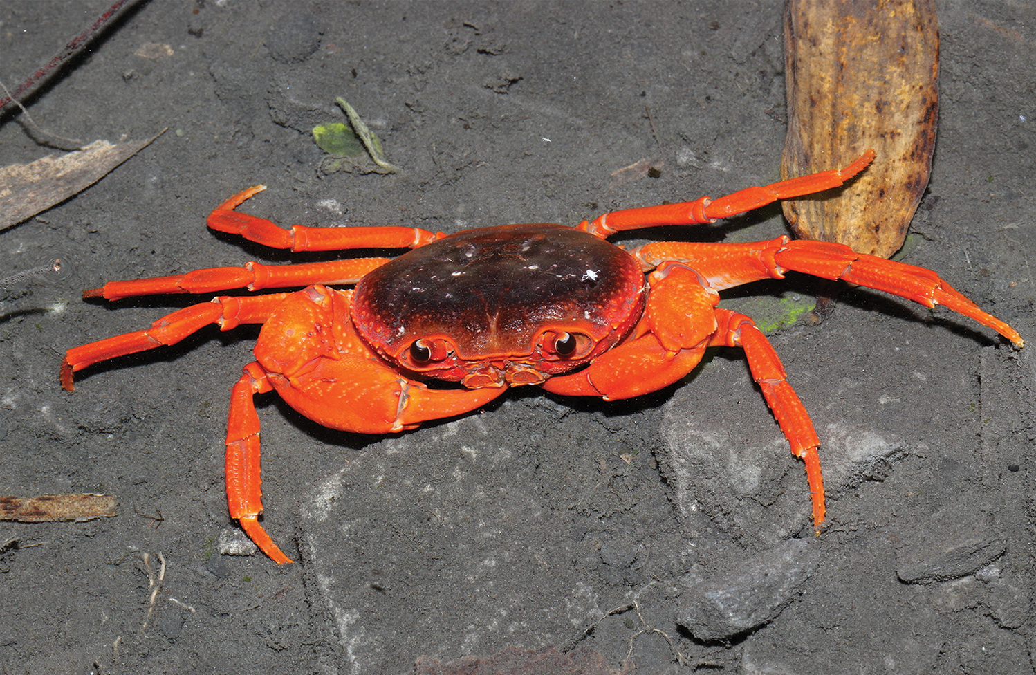 Crab from the Chinese pet market turns out to be a new species of a new
