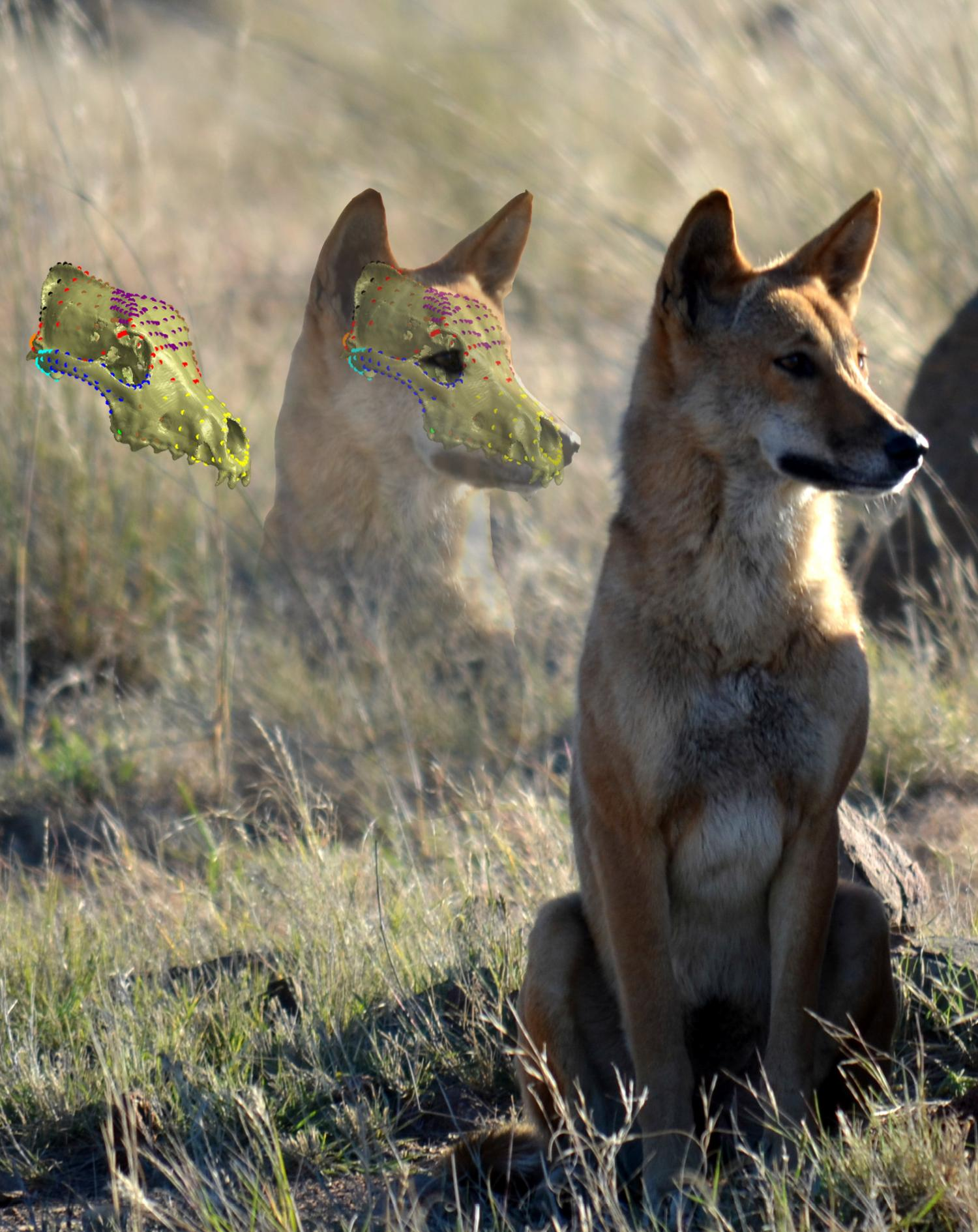 Dingo skull resistant to change from cross breeding with ...