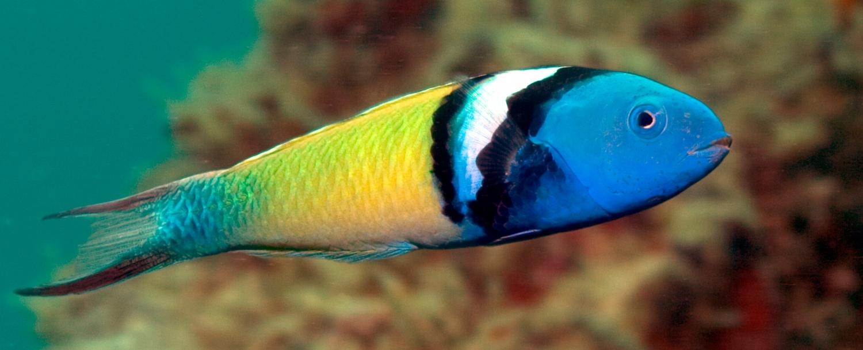 Eddies enhance survival of coral reef fish in sub-tropical ...