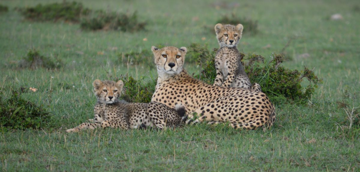 estimates of cheetah numbers are guesswork say researchers