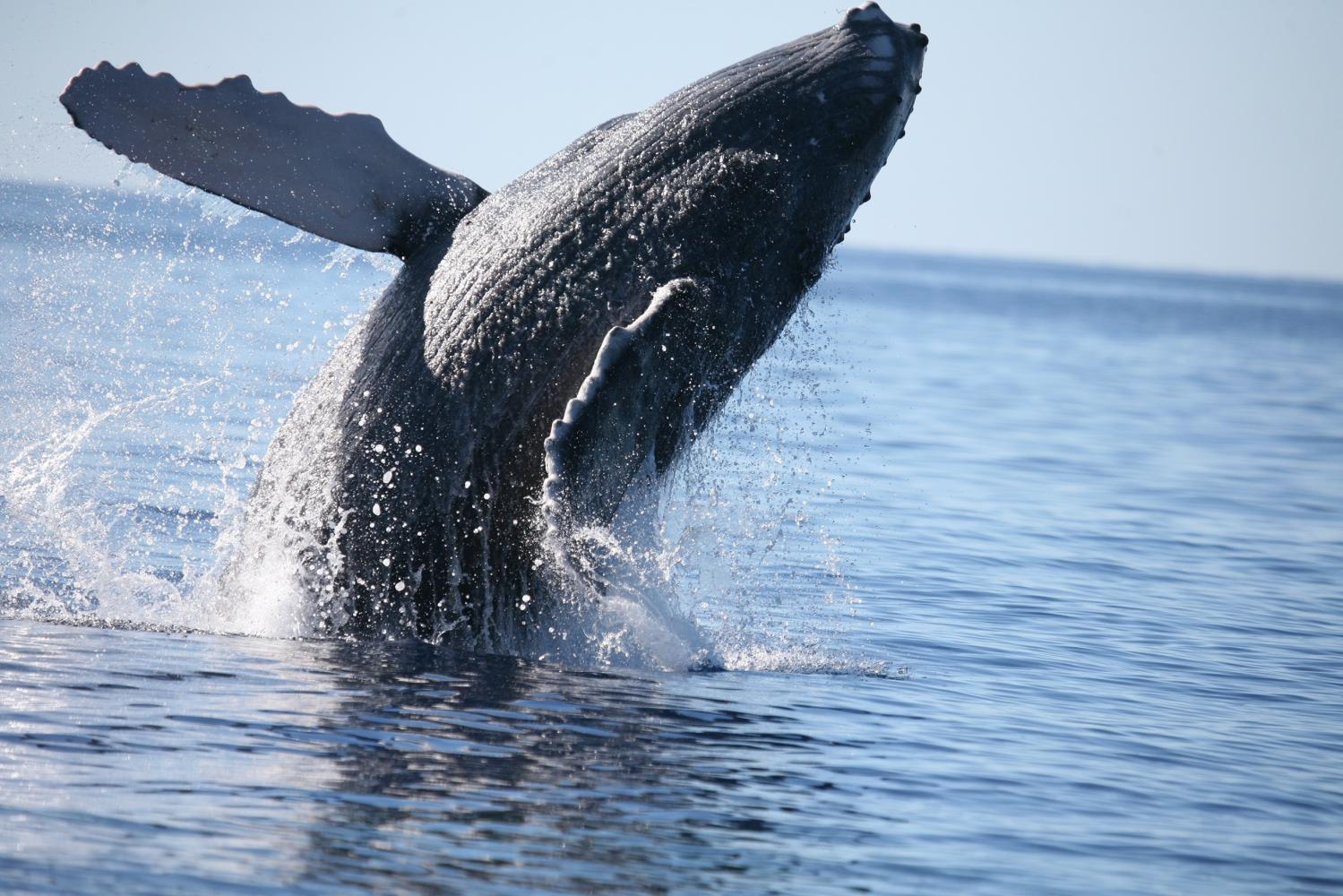 Exercise helps young baleen whales develop ability to ...