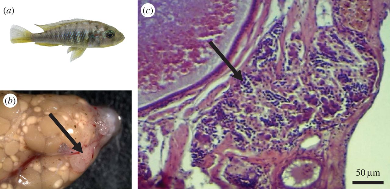 Female Fish Develops Male Organs And Impregnates Self