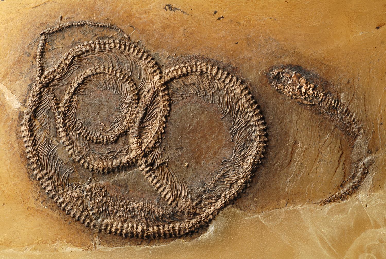 Fosili - Page 5 Fossilfoodch