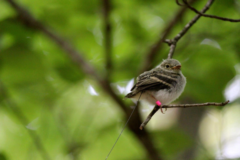 Best Cd Rates >> Habitat needs of nestling and fledgling songbirds