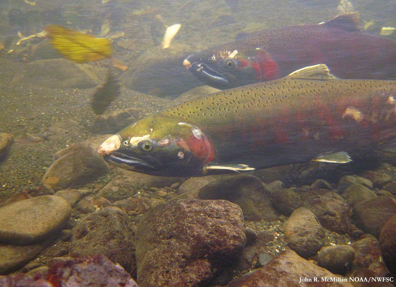 tech river studies reveal benefits of habitat restoration for fish