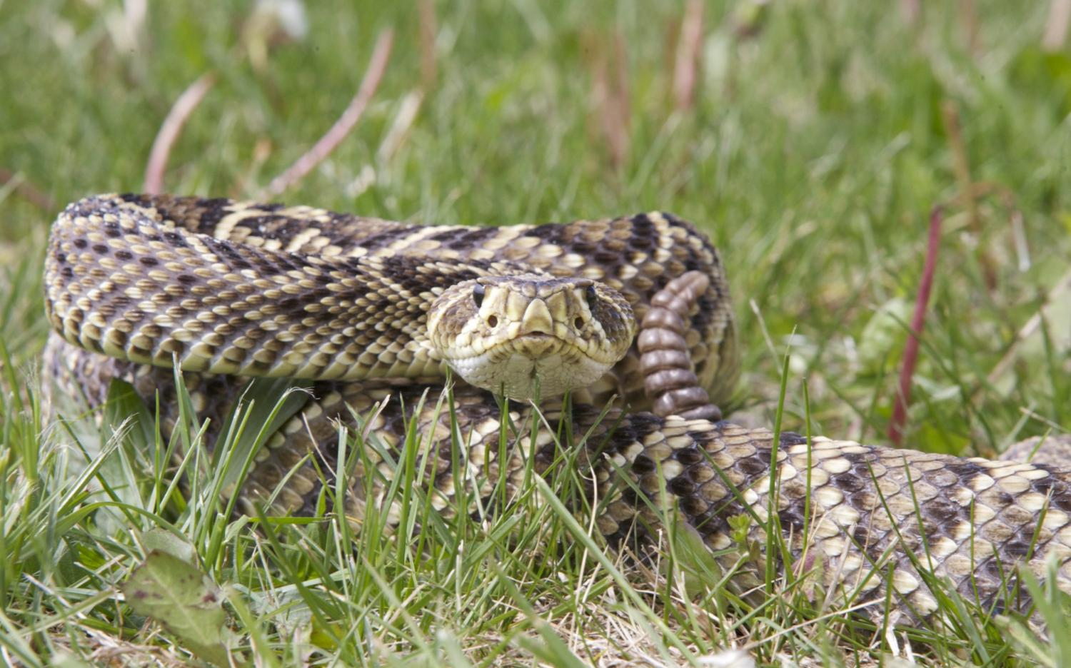 How rattlesnakes got, and lost, their venom