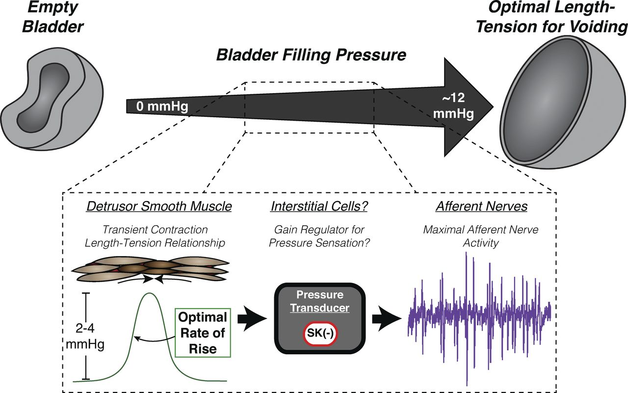 Transient Contractions In Urinary Bladder May Lead To Therapeutic
