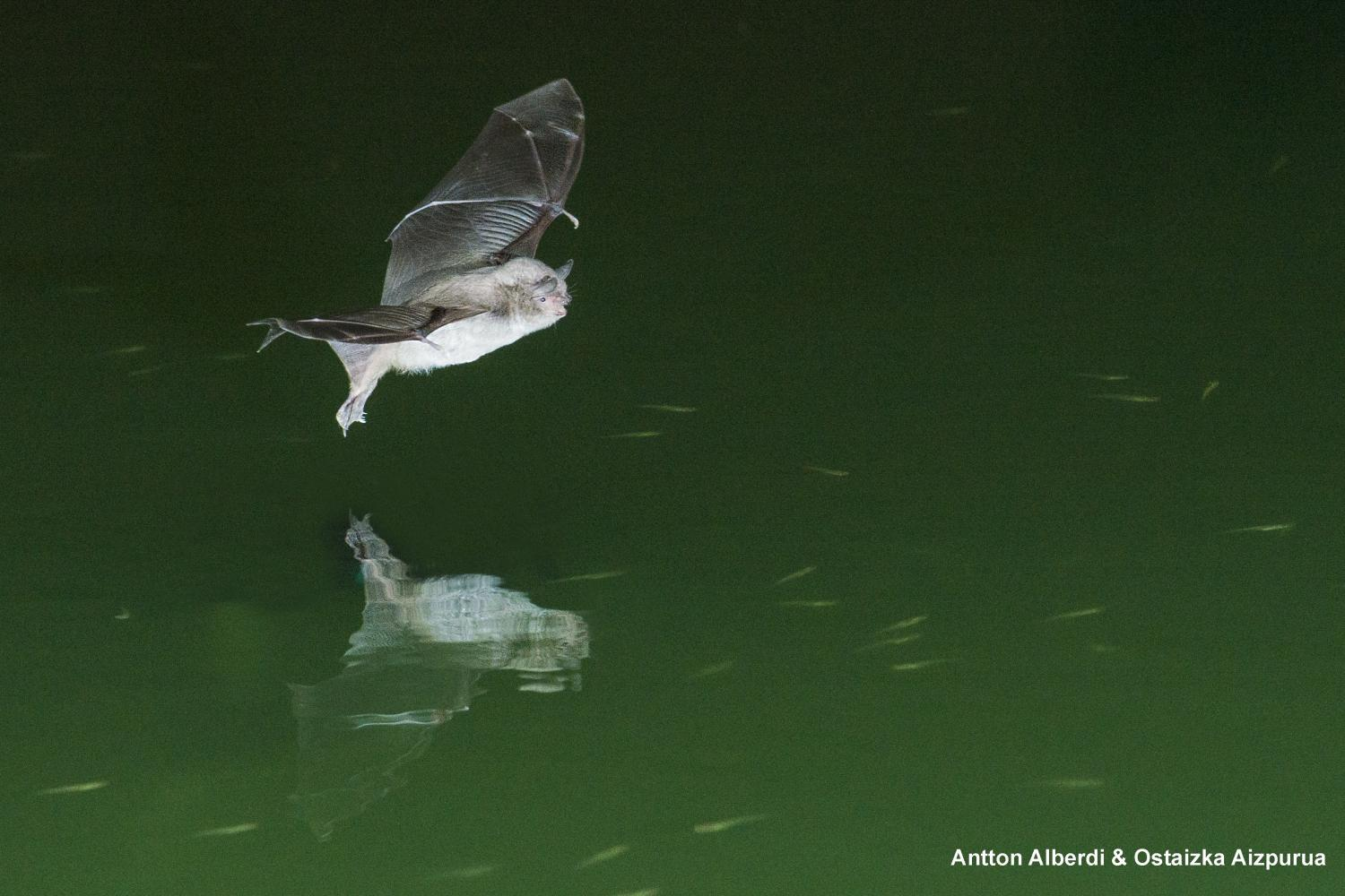 Insectivorous long fingered bats may also be capable of for Fish catching net