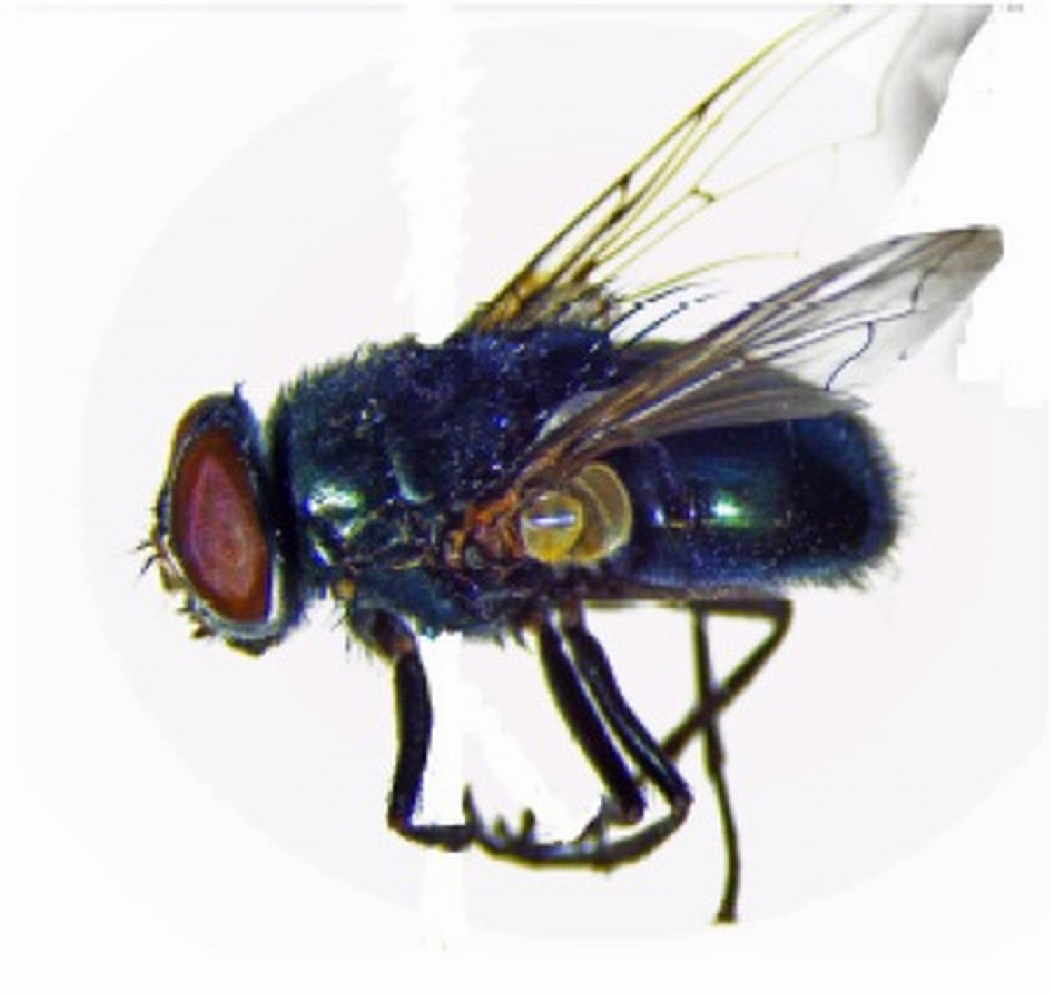 the blowflies Fly lab report p  we examined the ability of blowflies to taste monosaccharide and disaccharide sugars as well as saccharin to do this, we attached.