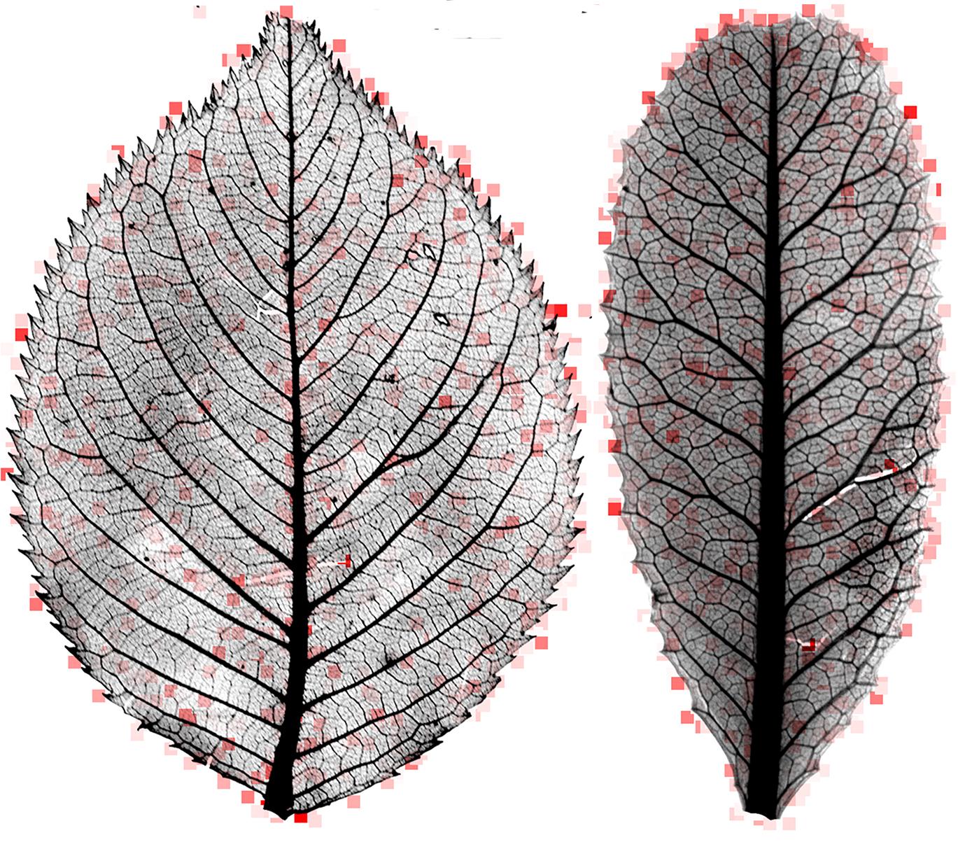 leaf mysteries revealed through the computer 39 s eye. Black Bedroom Furniture Sets. Home Design Ideas