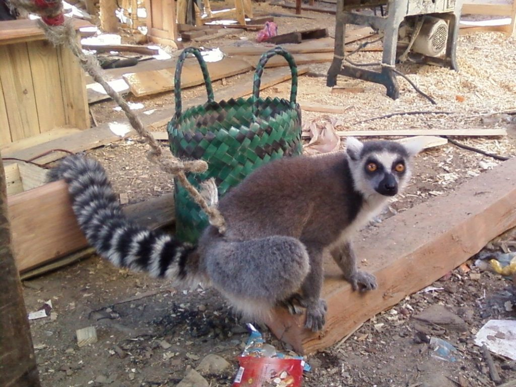 Is Ring Tailed Lemur Pet Legal