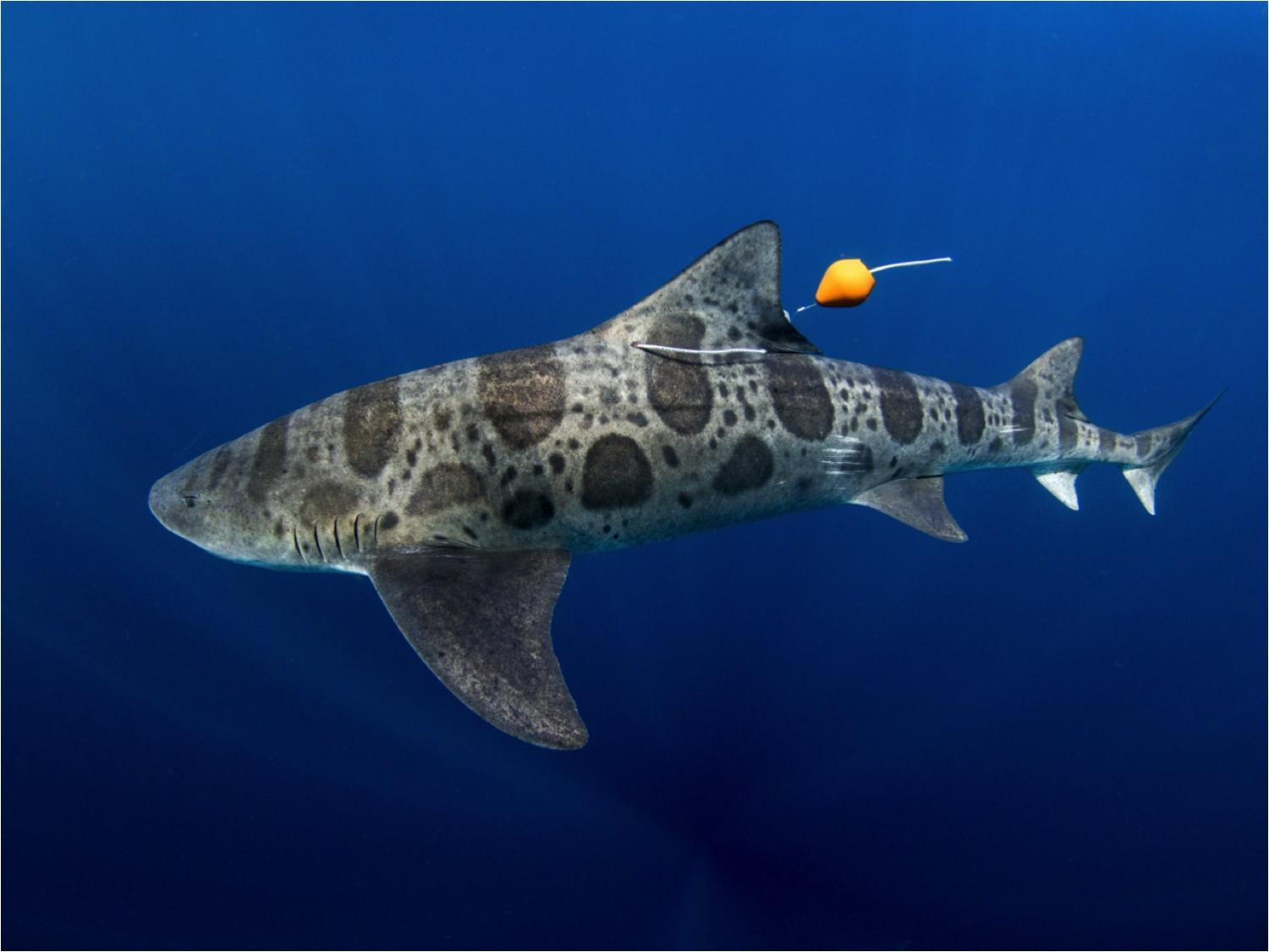 leopard sharks navigate with their nose