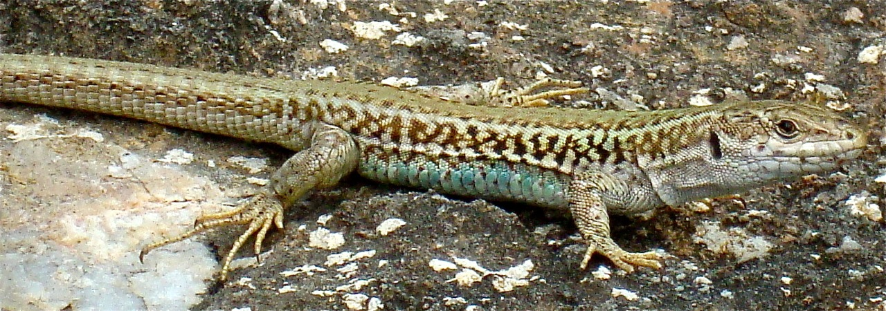 lizards camouflage themselves by choosing rocks that best match the