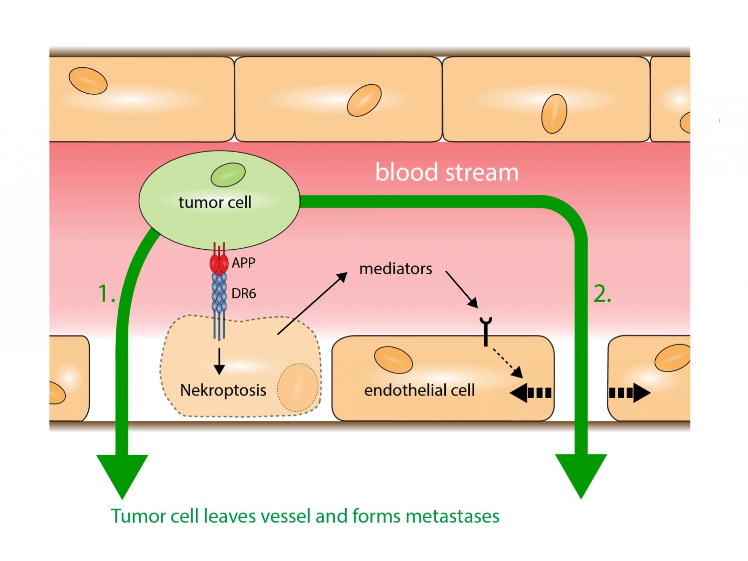 Loophole For Cancer Cells