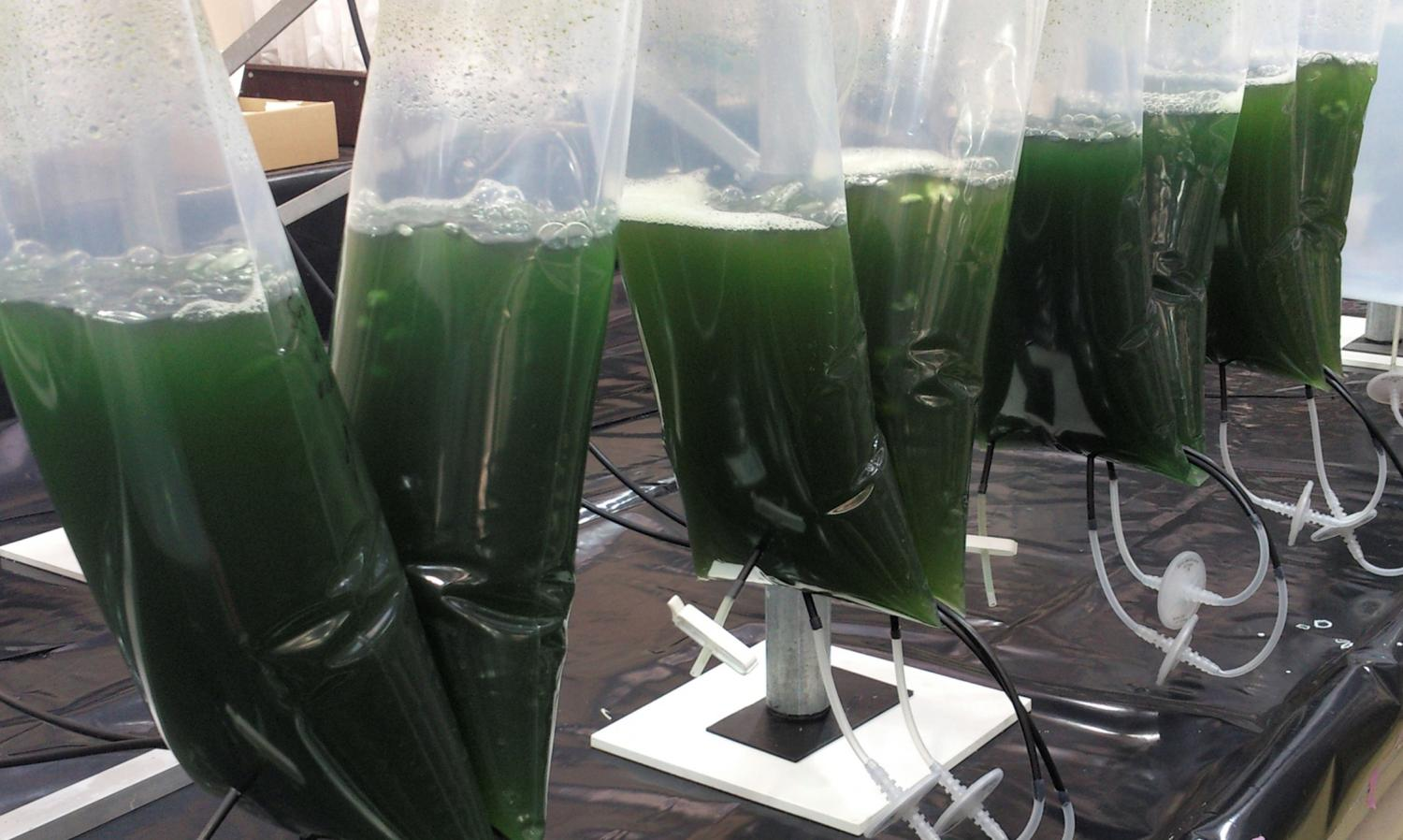 Modified Microalgae Converts Sunlight Into Valuable Medicine