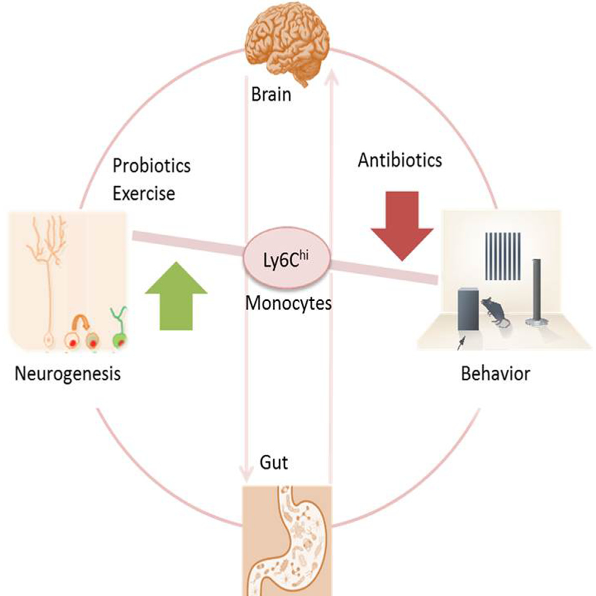 Mouse Study Finds Link Between Gut Bacteria And Neurogenesis