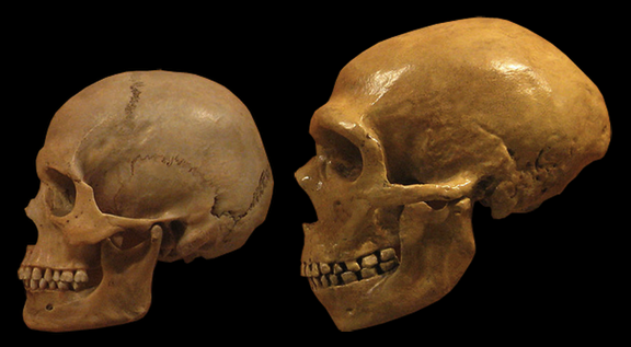teeth size of neanderthals Gradual change in human tooth size in the late pleistocene and post- pleistocene author(s): the early neanderthals are from krapina in yugoslavia.
