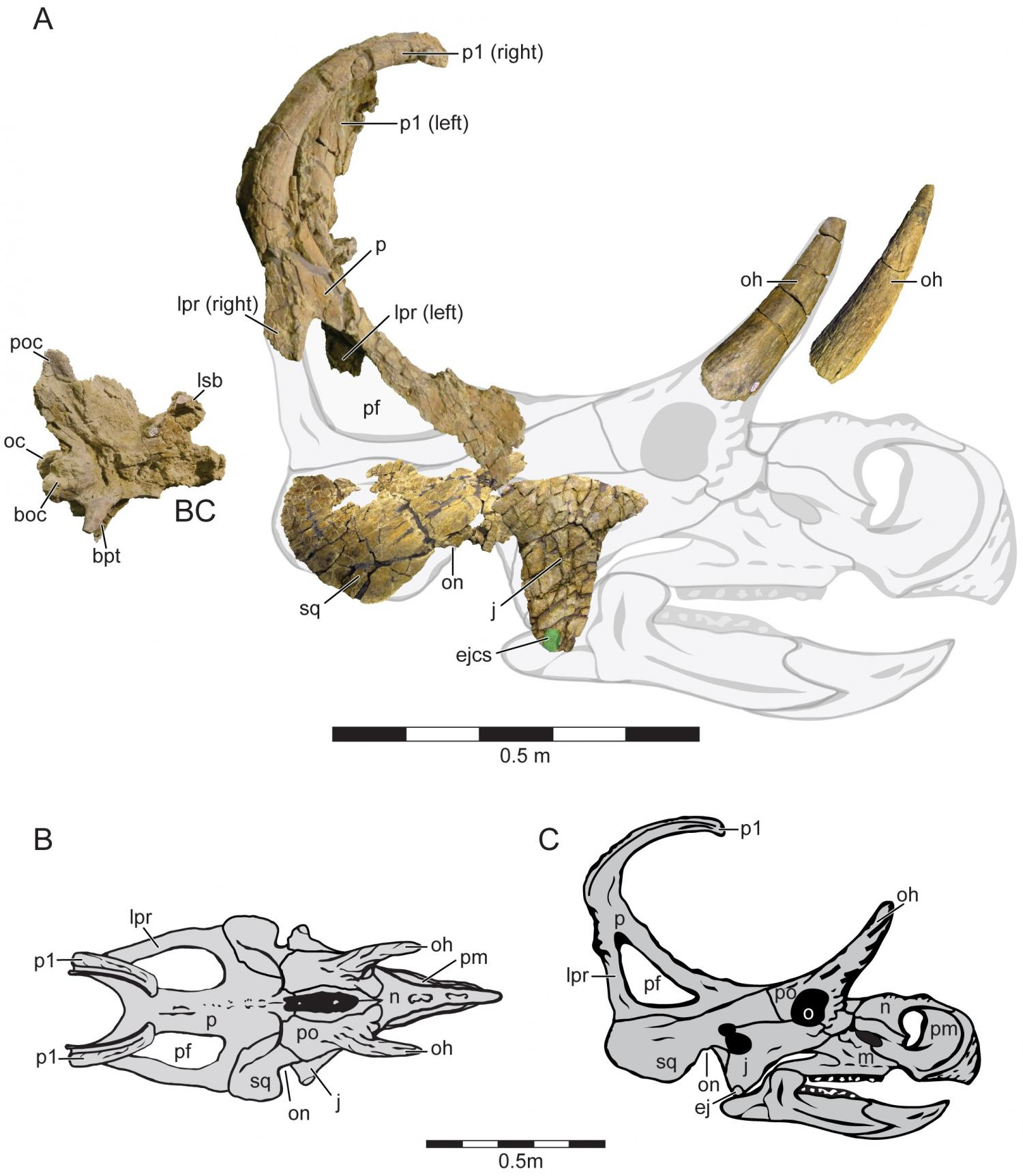 paleontologists discover new species of horned dinosaur in