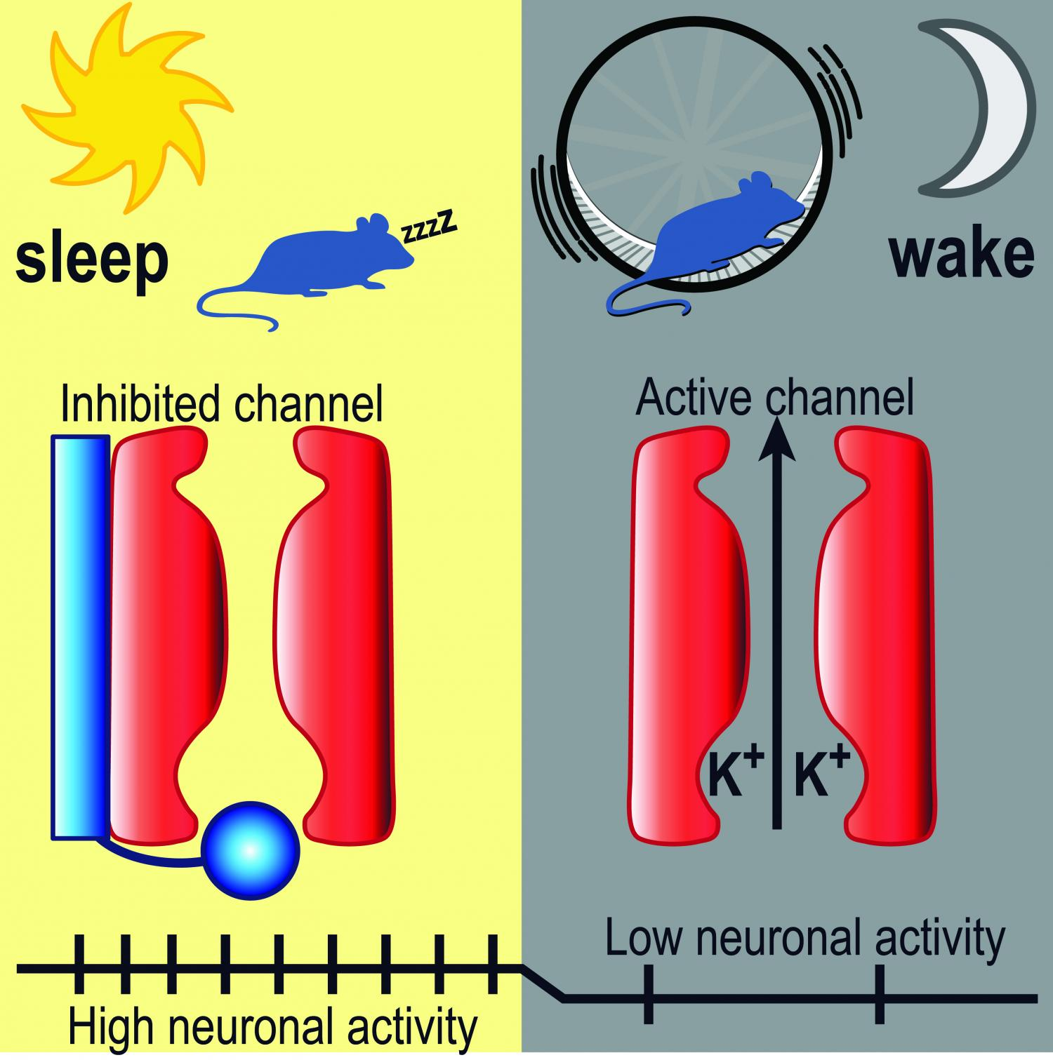 New Study Illuminates Key Aspects Of How We Fall Asleep And Wake Up