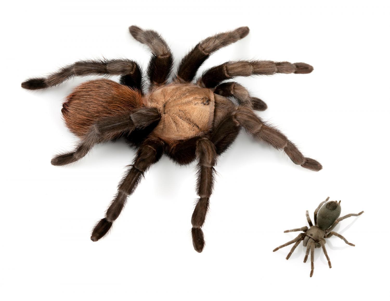 Male Tarantula Anatomy